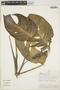 Monstera adansonii Schott, PERU, A. H. Gentry 21,833, F