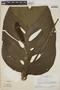 Monstera adansonii Schott, SURINAME, H. S. Irwin 55887, F