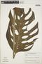 Monstera adansonii Schott, VENEZUELA, J. A. Steyermark 100329, F