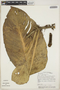 Monstera adansonii Schott, Venezuela, G. Davidse 16172, F
