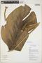 Monstera adansonii Schott, Colombia, R. F. Goméz 6102, F