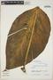 Monstera adansonii Schott, COLOMBIA, R. E. Schultes 22594, F