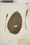 Monstera adansonii subsp. laniata (Schott) Mayo & I. M. Andrade, BRITISH GUIANA [Guyana], J. S. de la Cruz 3764, F