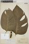 Monstera adansonii subsp. laniata (Schott) Mayo & I. M. Andrade, Guyana, J. S. de la Cruz 4327, F