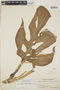 Monstera adansonii subsp. laniata (Schott) Mayo & I. M. Andrade, Colombia, Bro. Elias 1217, F