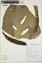 Monstera adansonii subsp. laniata (Schott) Mayo & I. M. Andrade, PERU, J. Lingán 652, F