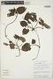 Geophila cordifolia Miq., Peru, J. Salick 7255, F