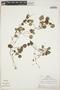 Geophila orbicularis (Müll. Arg.) Steyerm., Peru, R. B. Foster 4241, F