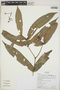 Ixora acuminatissima Müll. Arg., Ecuador, K. Romoleroux 1851, F