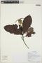 Kutchubaea semisericea Ducke, Ecuador, G. Villa 1019, F
