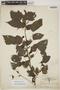 Acalypha alopecuroidea image
