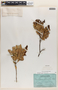 Gaultheria reticulata Kunth, ECUADOR, C. W. T. Penland 1115, F