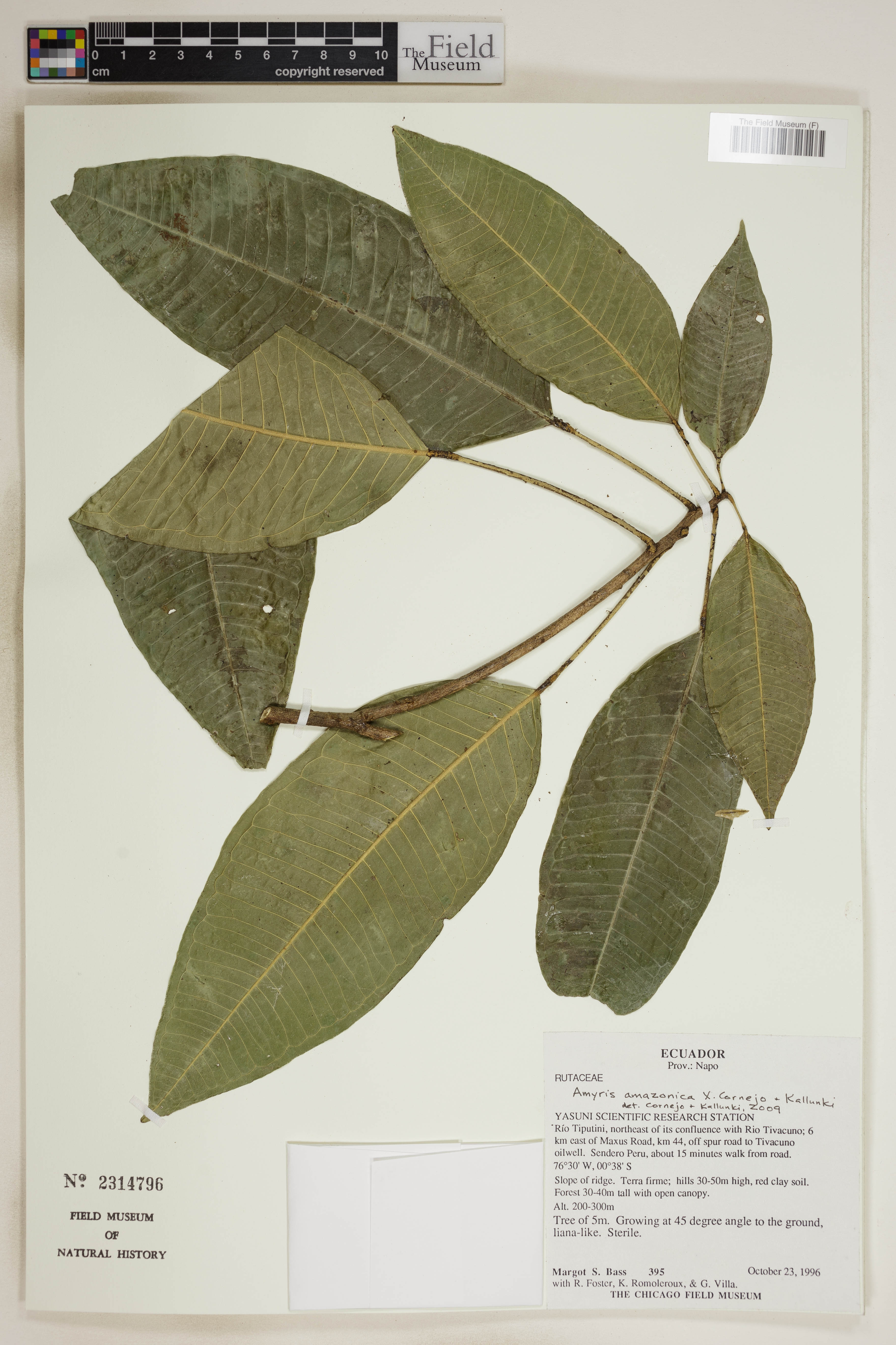 Specimen: Amyris amazonica