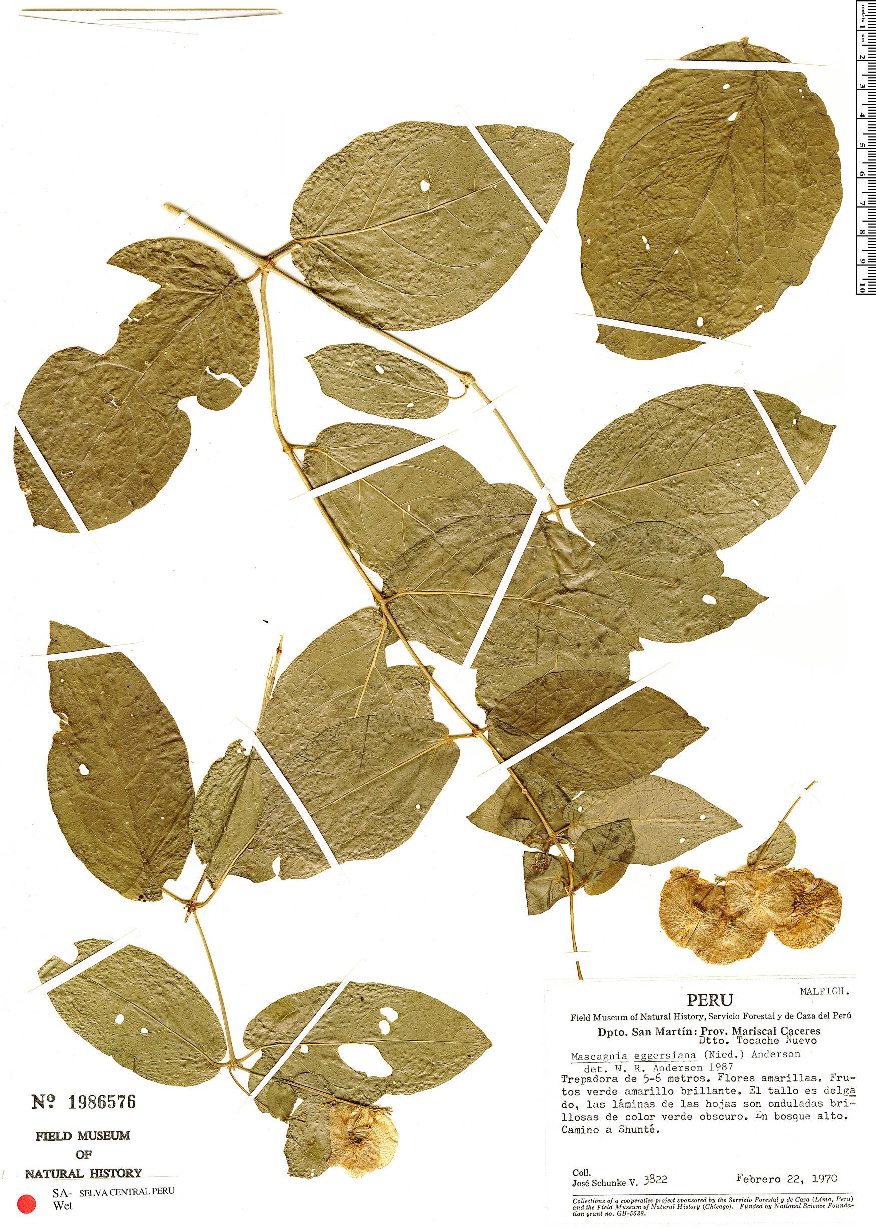 Specimen: Mascagnia eggersiana
