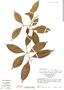 Ardisia bartlettii image