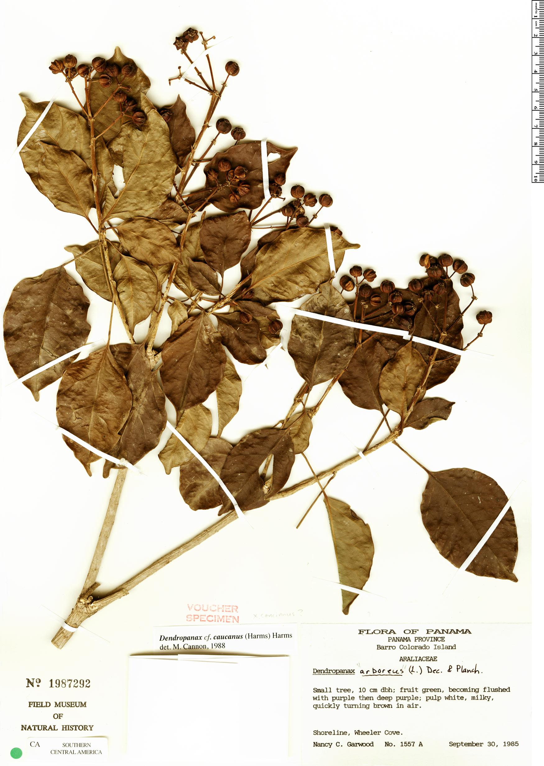 Specimen: Dendropanax caucanus