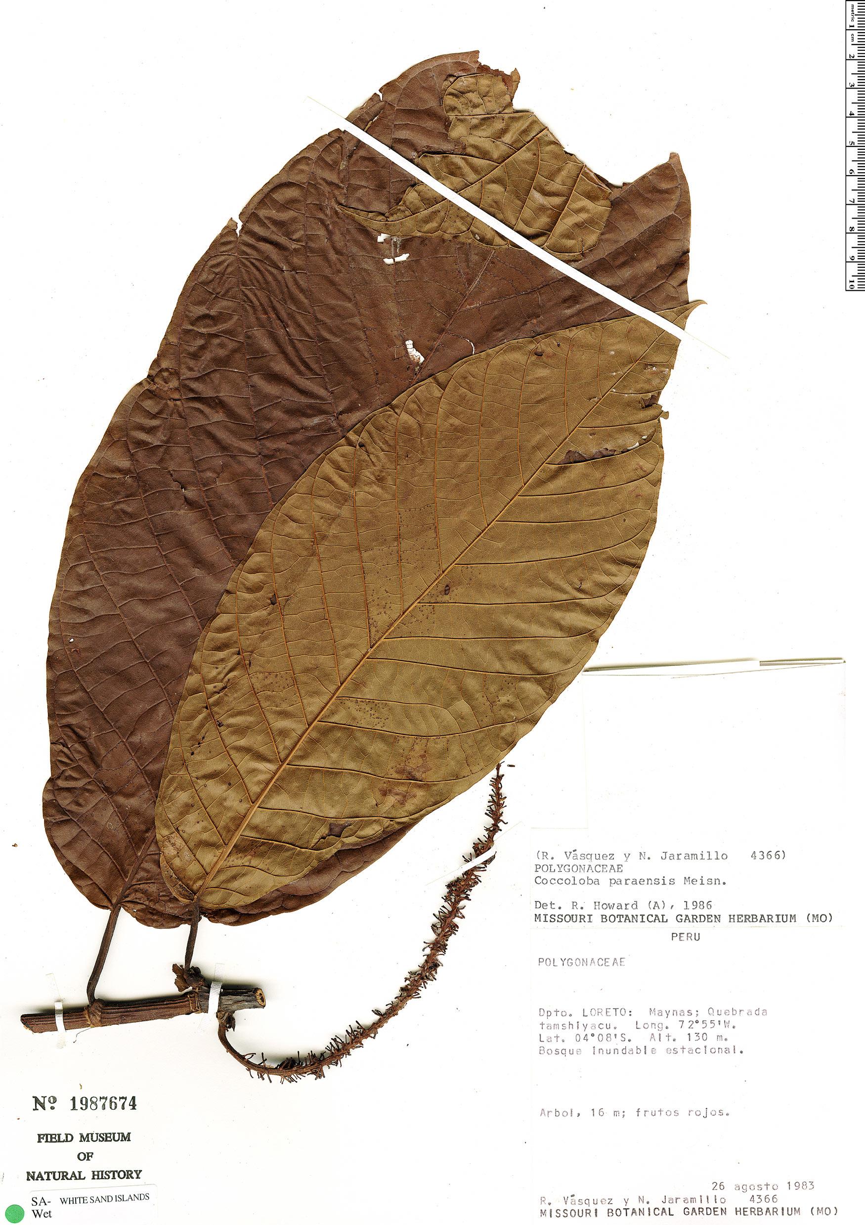 Specimen: Coccoloba paraensis