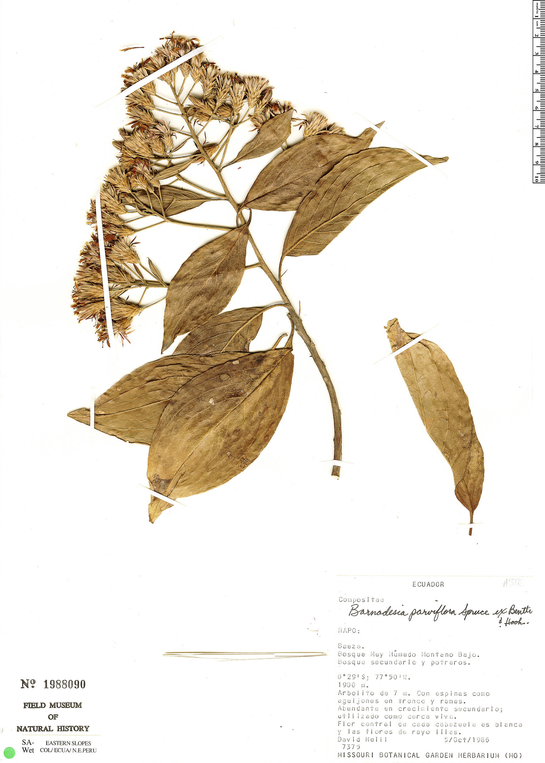 Specimen: Barnadesia parviflora