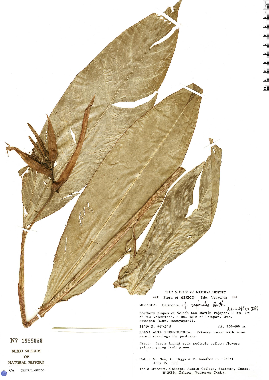 Specimen: Heliconia vaginalis