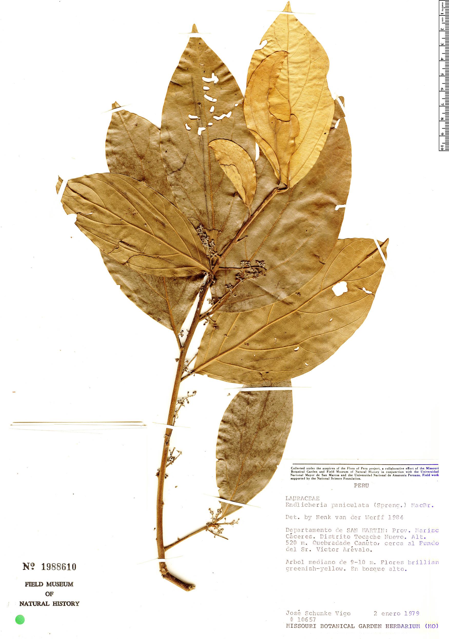 Specimen: Endlicheria paniculata
