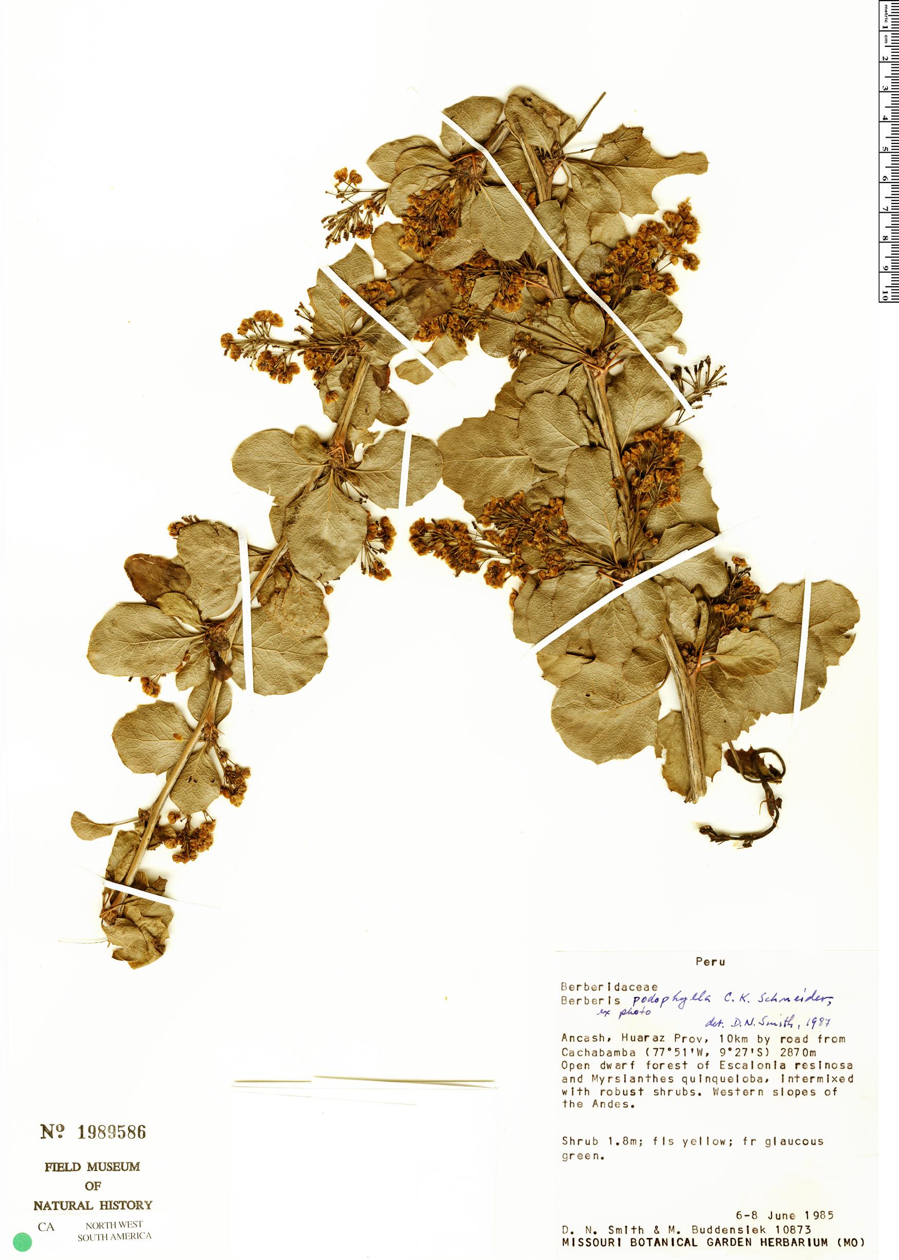 Specimen: Berberis podophylla