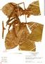 Paullinia rugosa Benth., Panama, N. C. Garwood 1631A, F