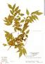 Paullinia glomerulosa Radlk., Panama, N. C. Garwood 1697, F