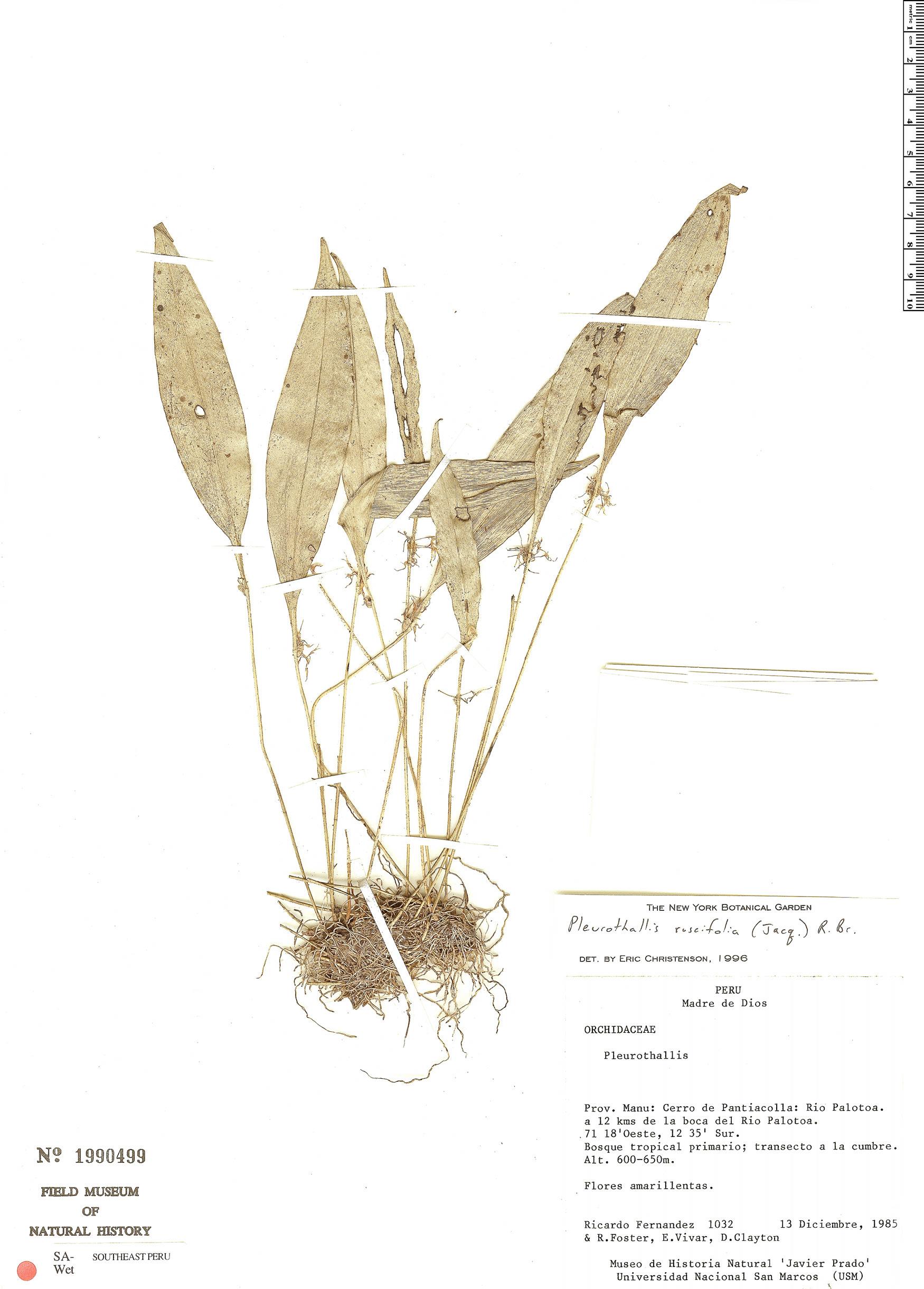 Espécime: Pleurothallis ruscifolia