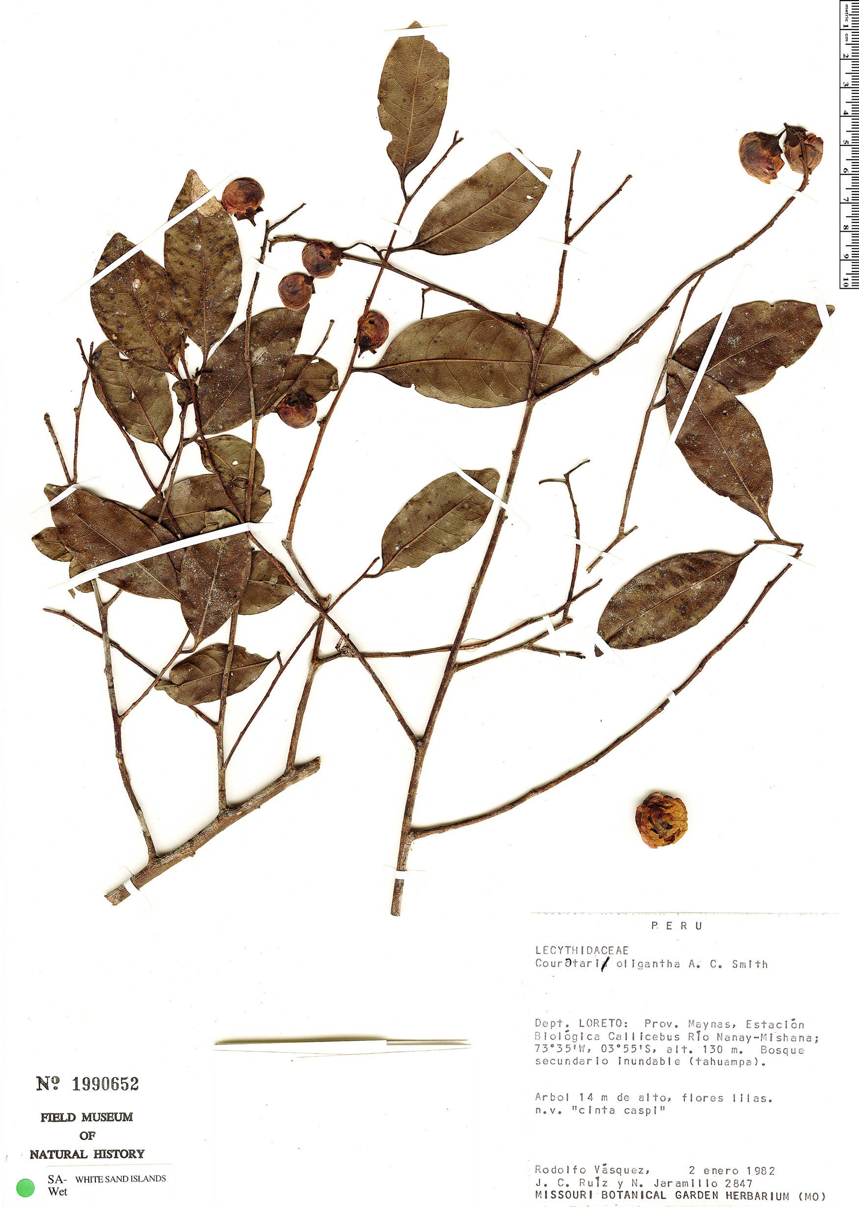 Espécimen: Couratari oligantha