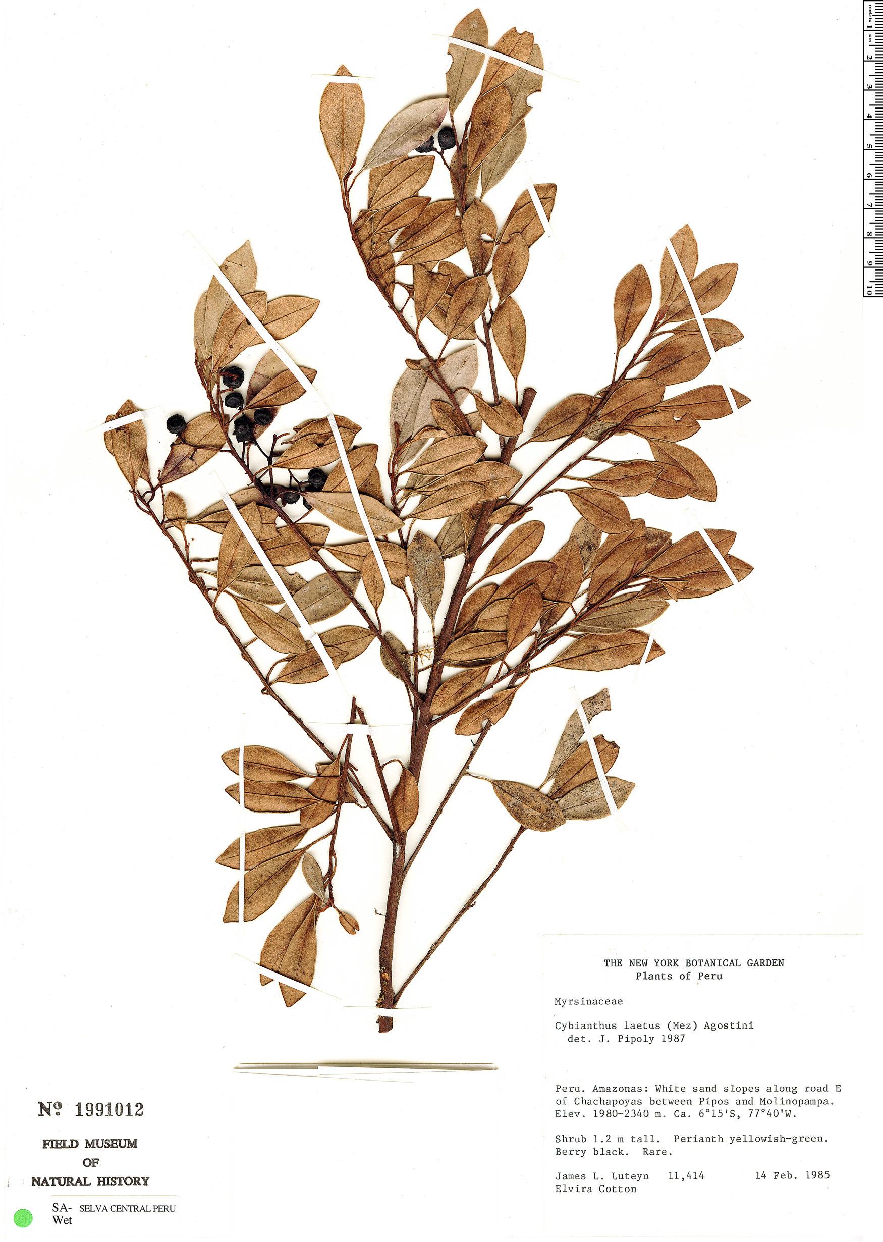 Specimen: Cybianthus laetus