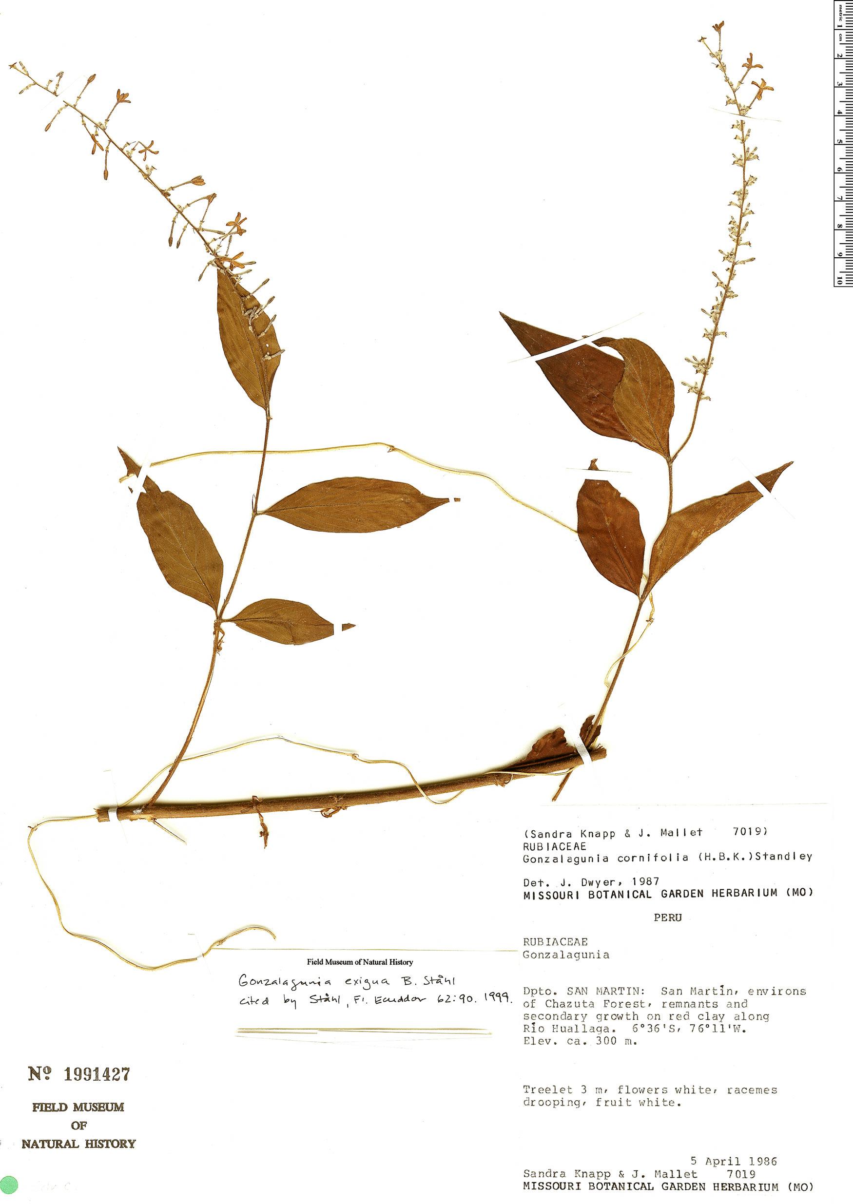 Specimen: Gonzalagunia exigua