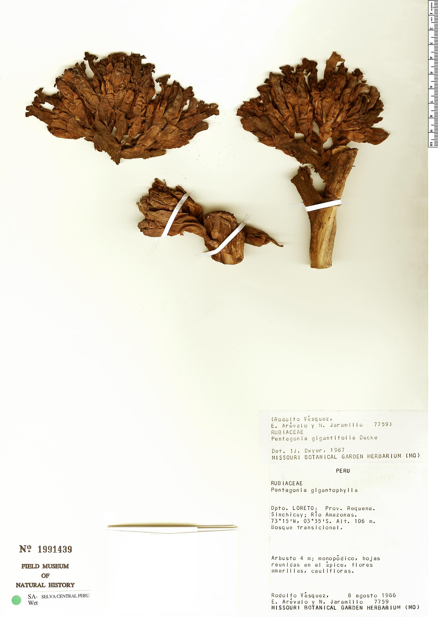 Specimen: Pentagonia gigantifolia