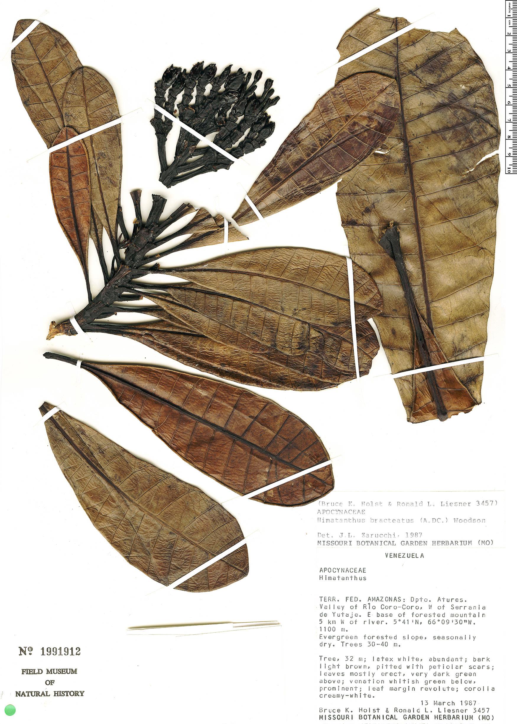 Specimen: Himatanthus bracteatus