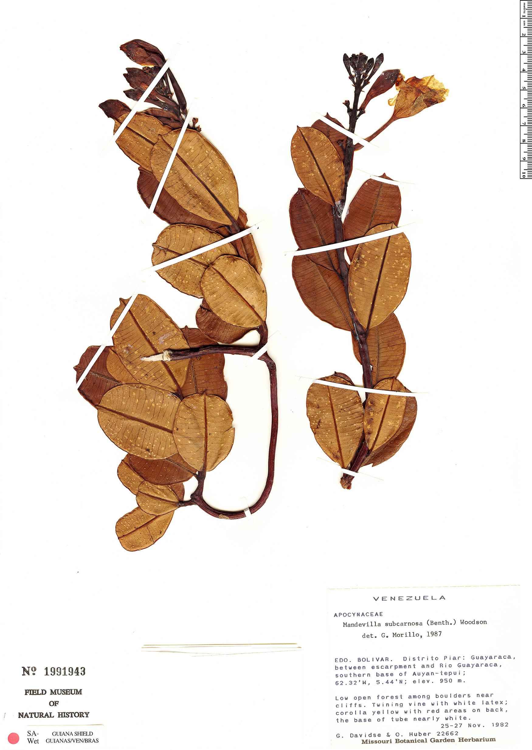 Espécimen: Mandevilla subcarnosa