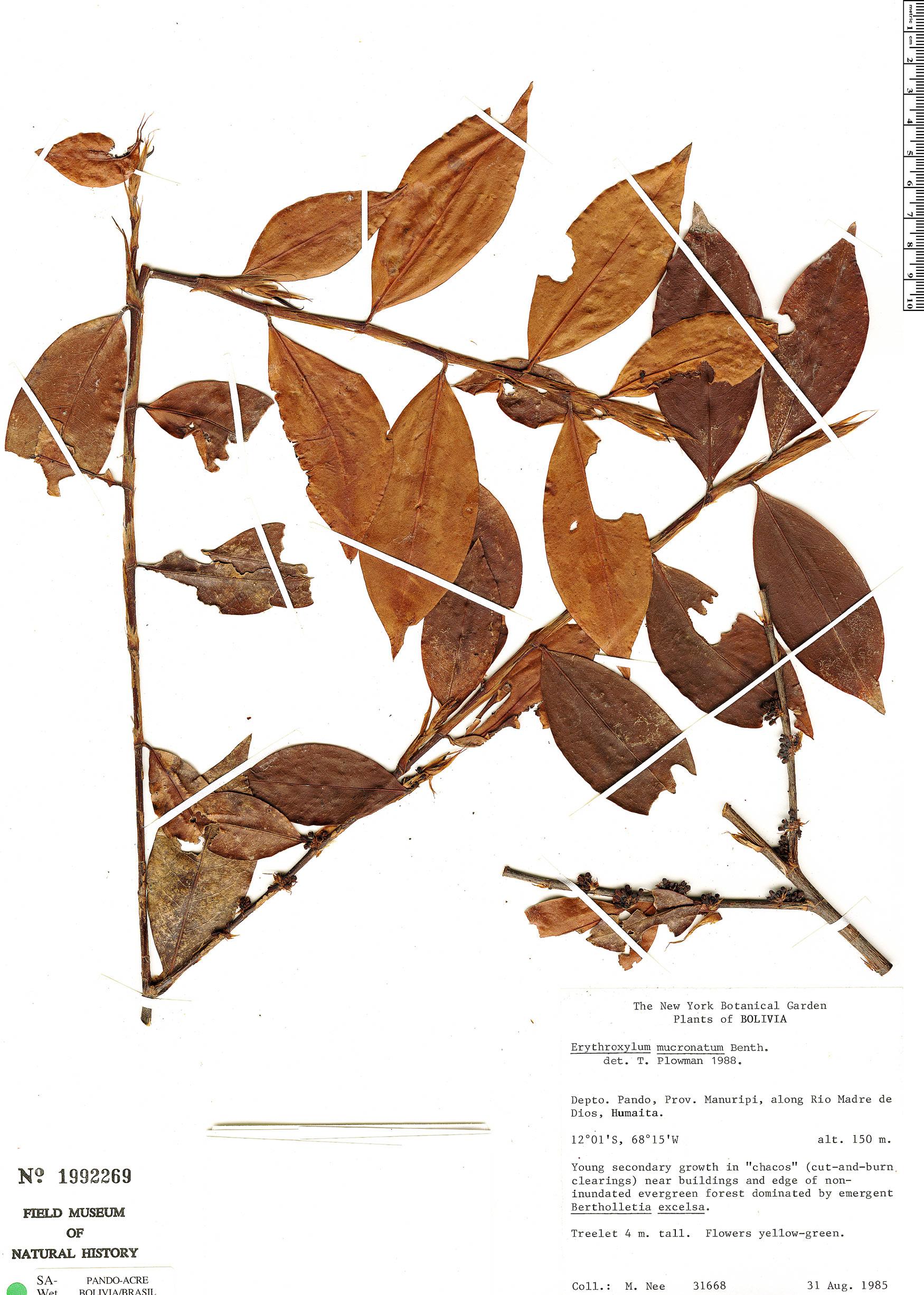 Specimen: Erythroxylum mucronatum
