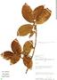 Ficus trigona L. f., Peru, D. N. Smith 4016, F