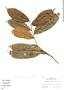Pseudolmedia laevis, Peru, D. Davidson 32, F