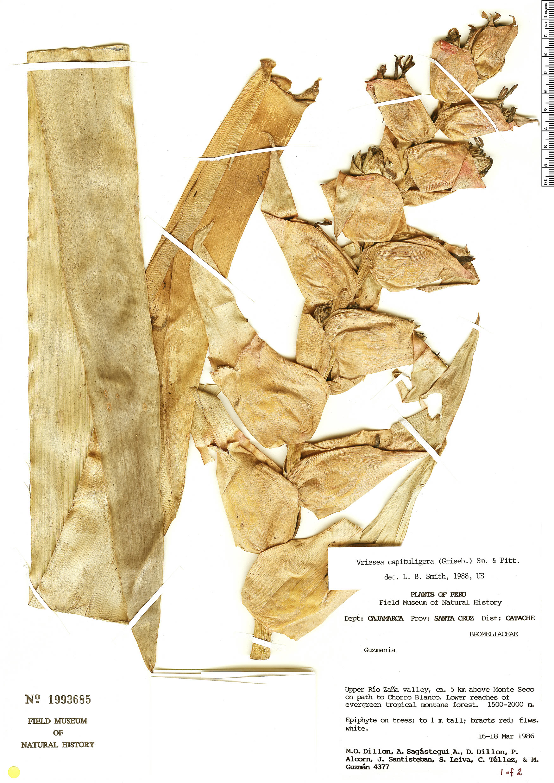 Specimen: Mezobromelia capituligera