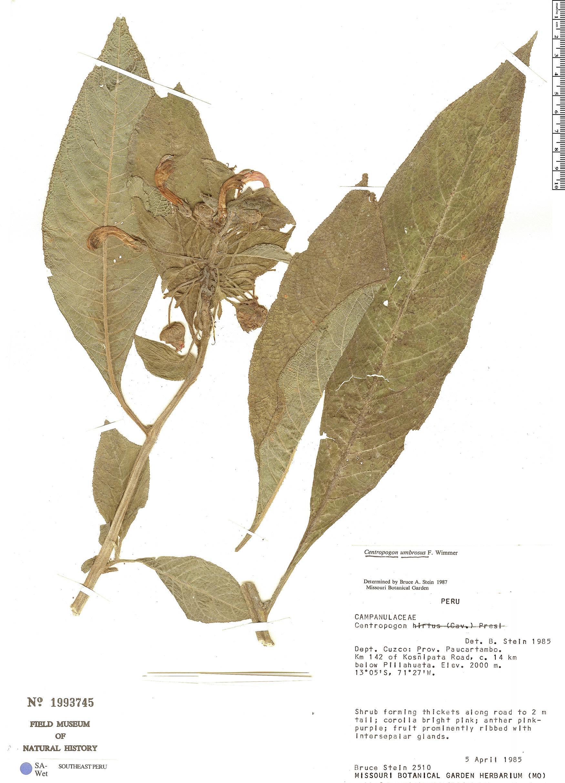 Specimen: Centropogon umbrosus