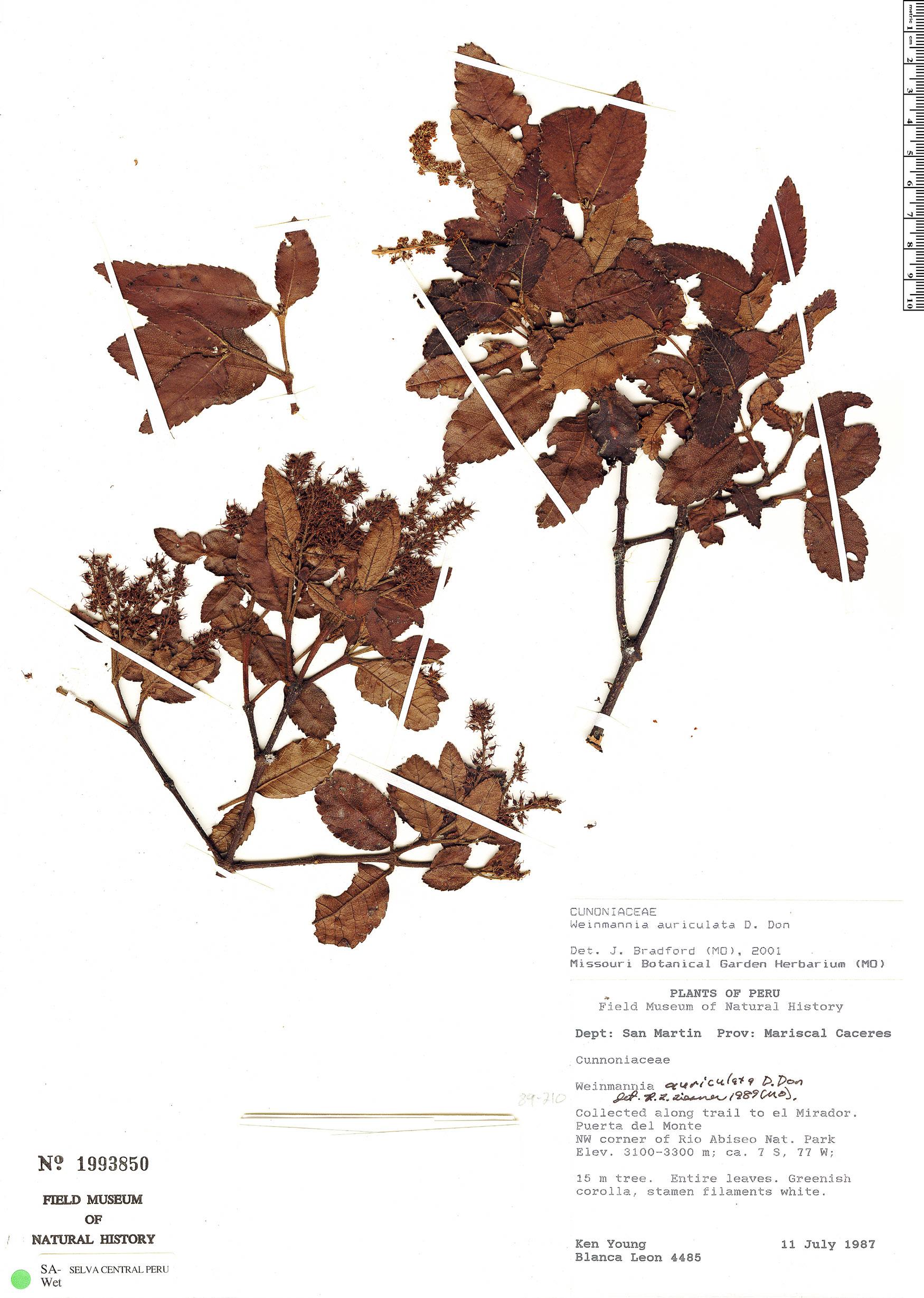 Specimen: Weinmannia auriculata