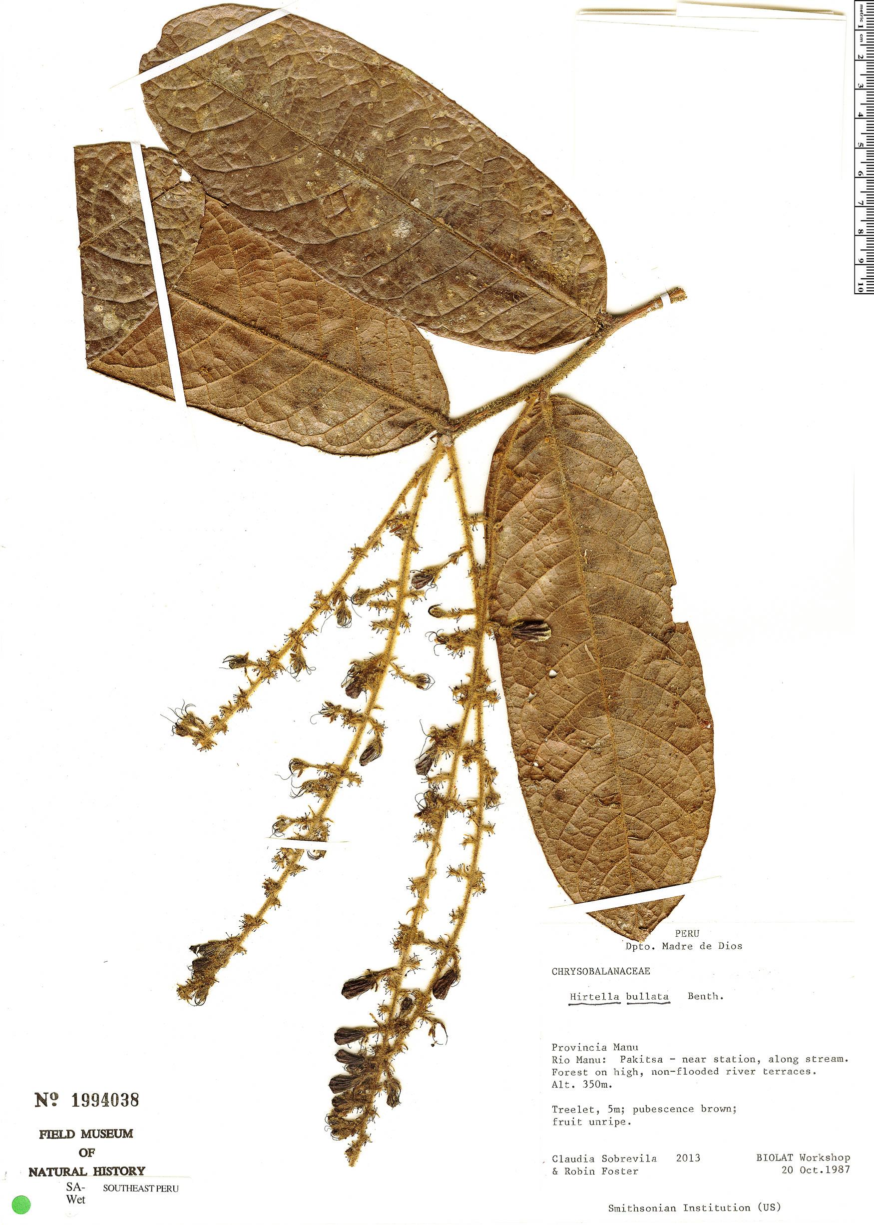 Specimen: Hirtella bullata
