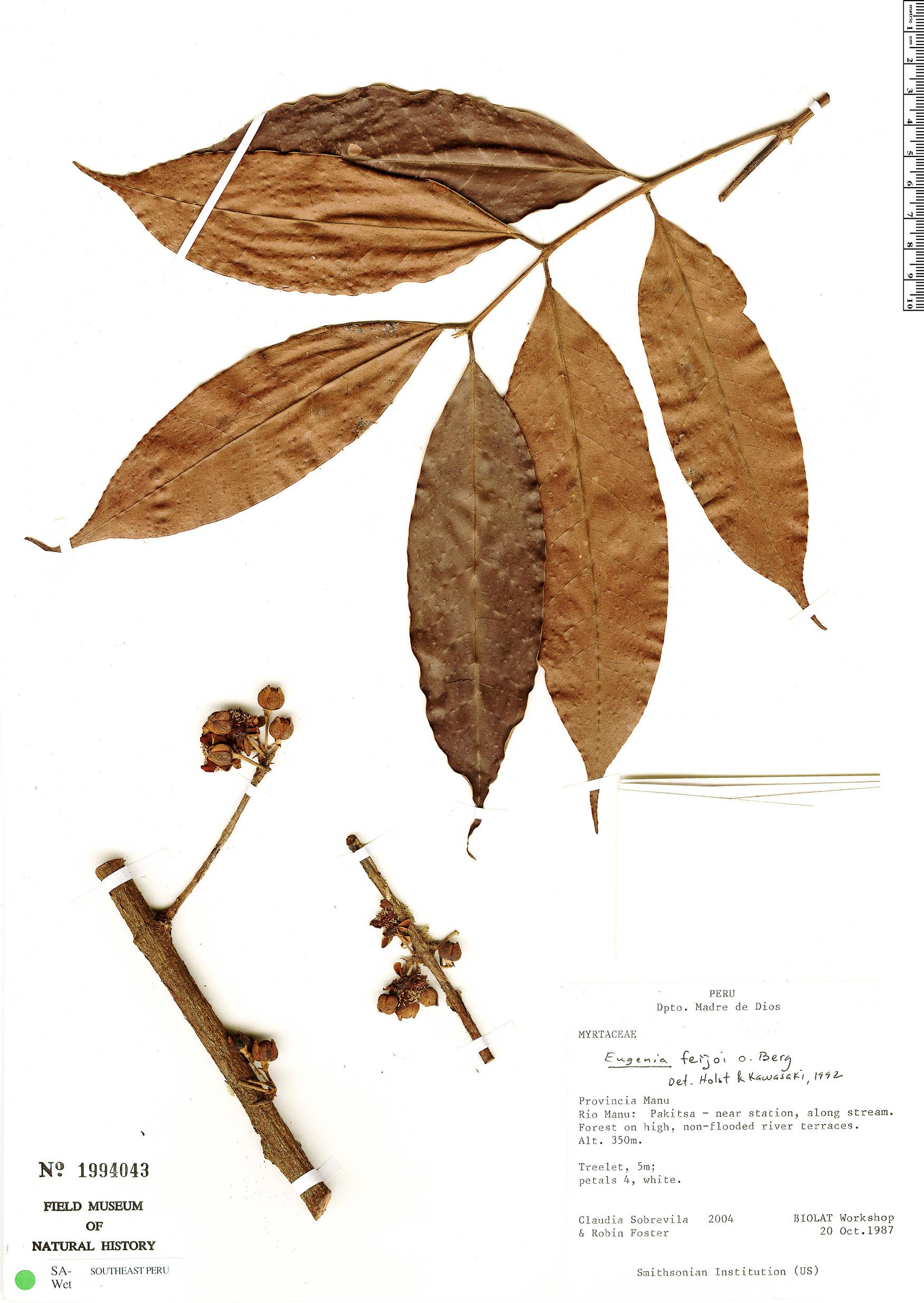 Specimen: Eugenia feijoi