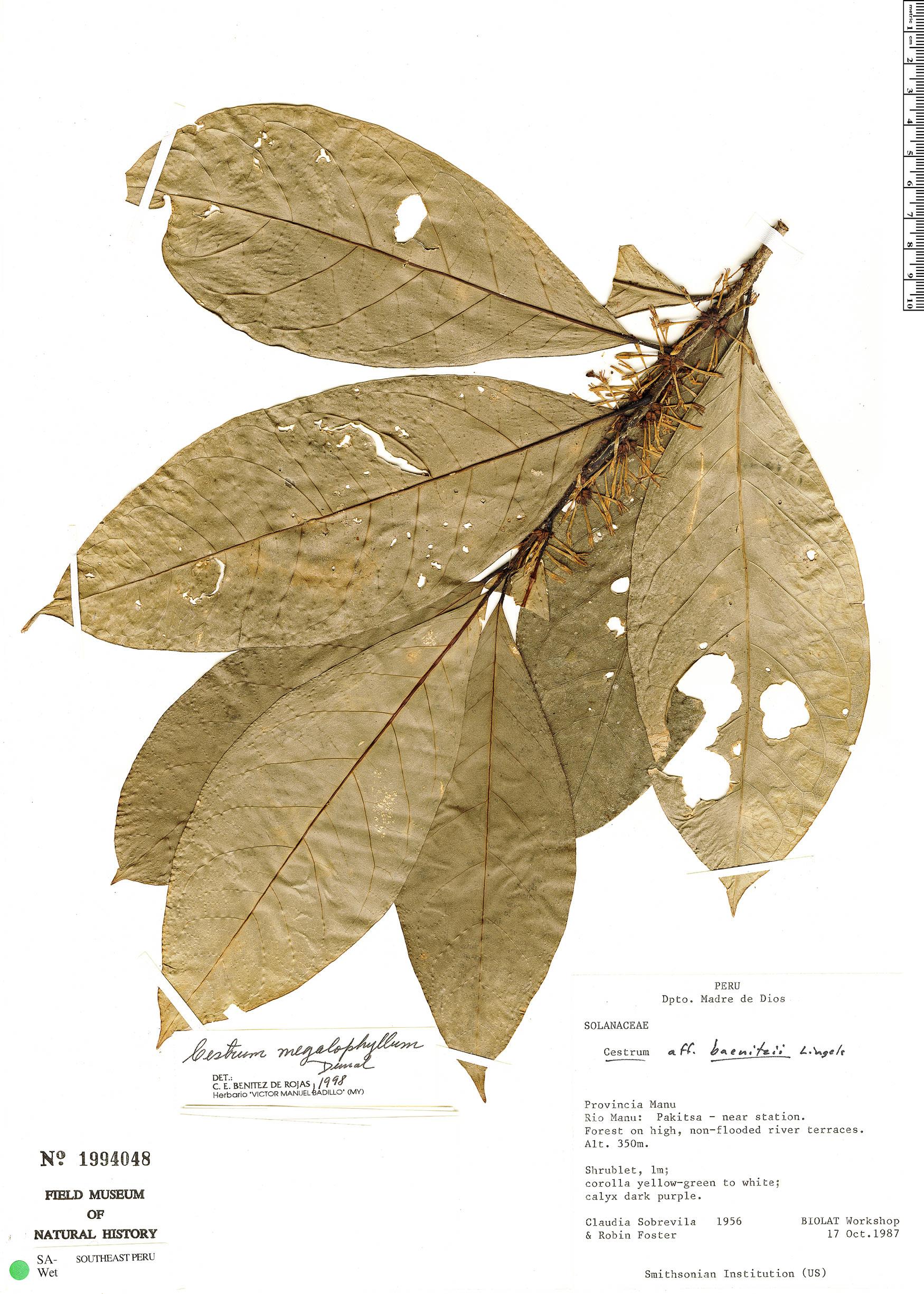 Specimen: Cestrum megalophyllum