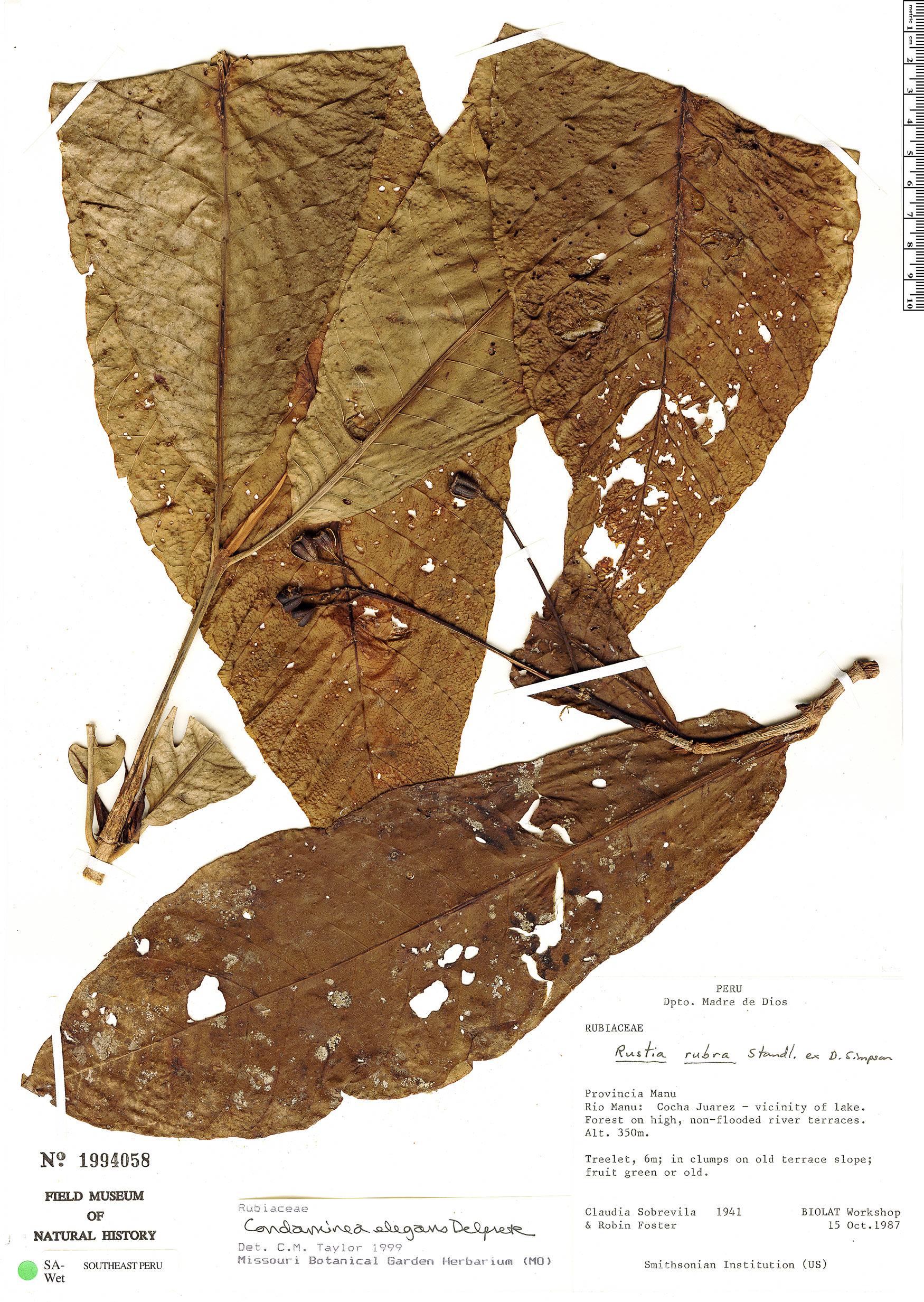 Specimen: Condaminea elegans