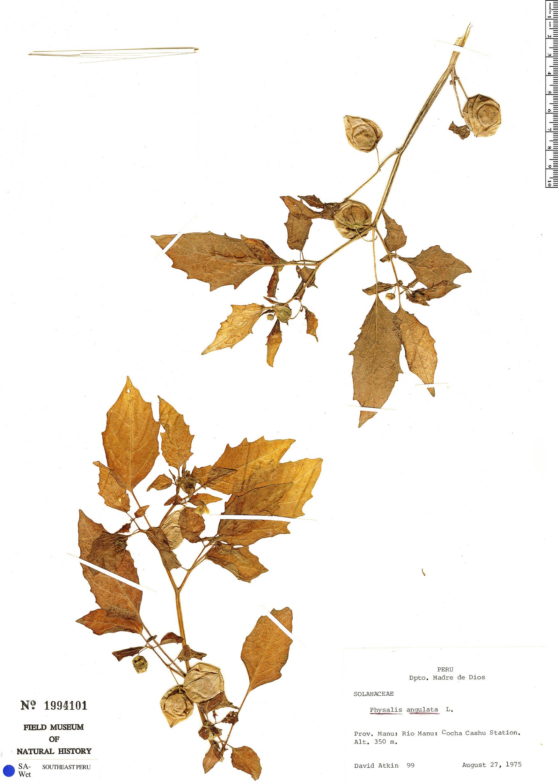 Specimen: Physalis angulata