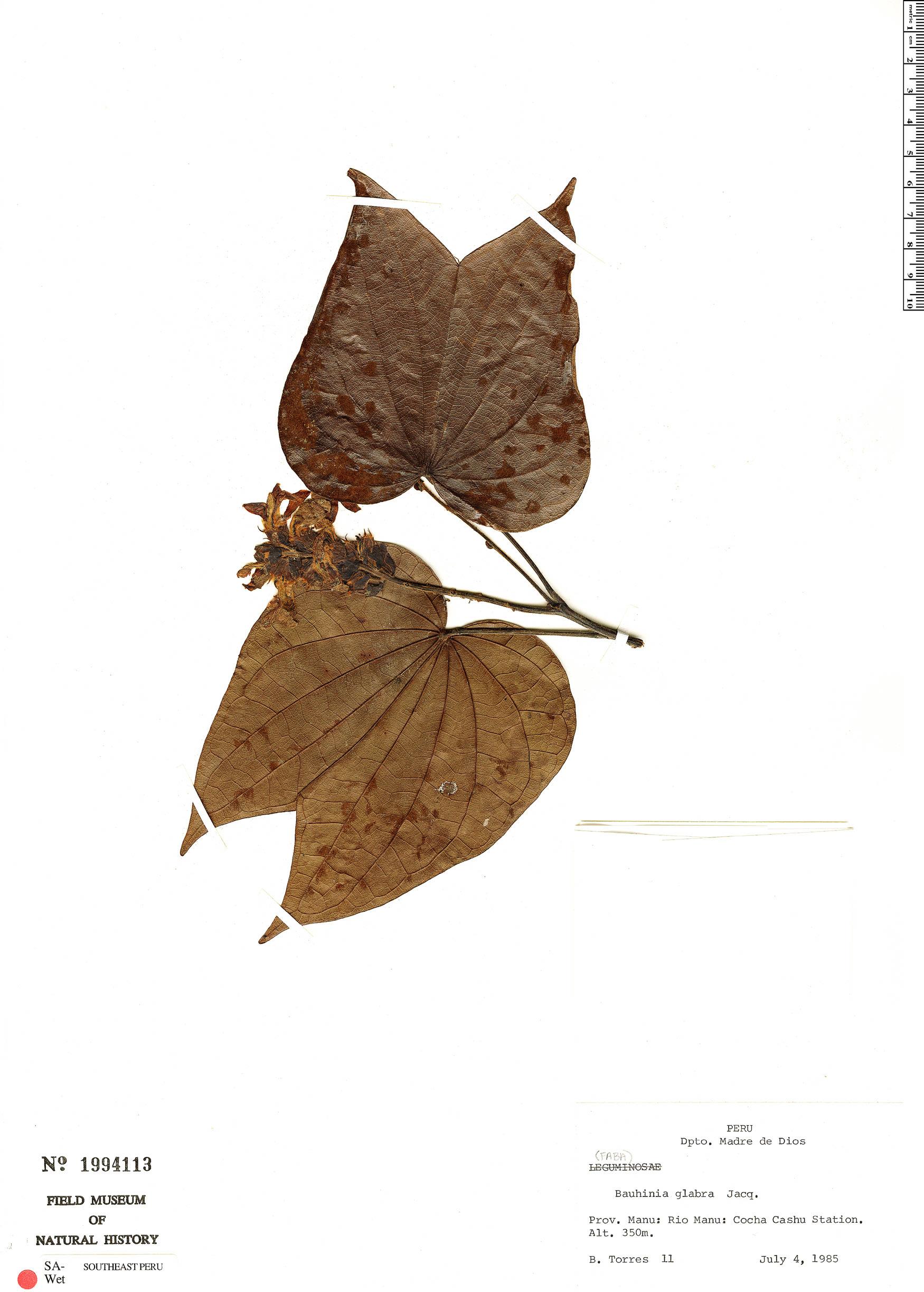 Specimen: Schnella glabra