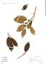Ficus trigona L. f., Peru, B. Torres 12, F