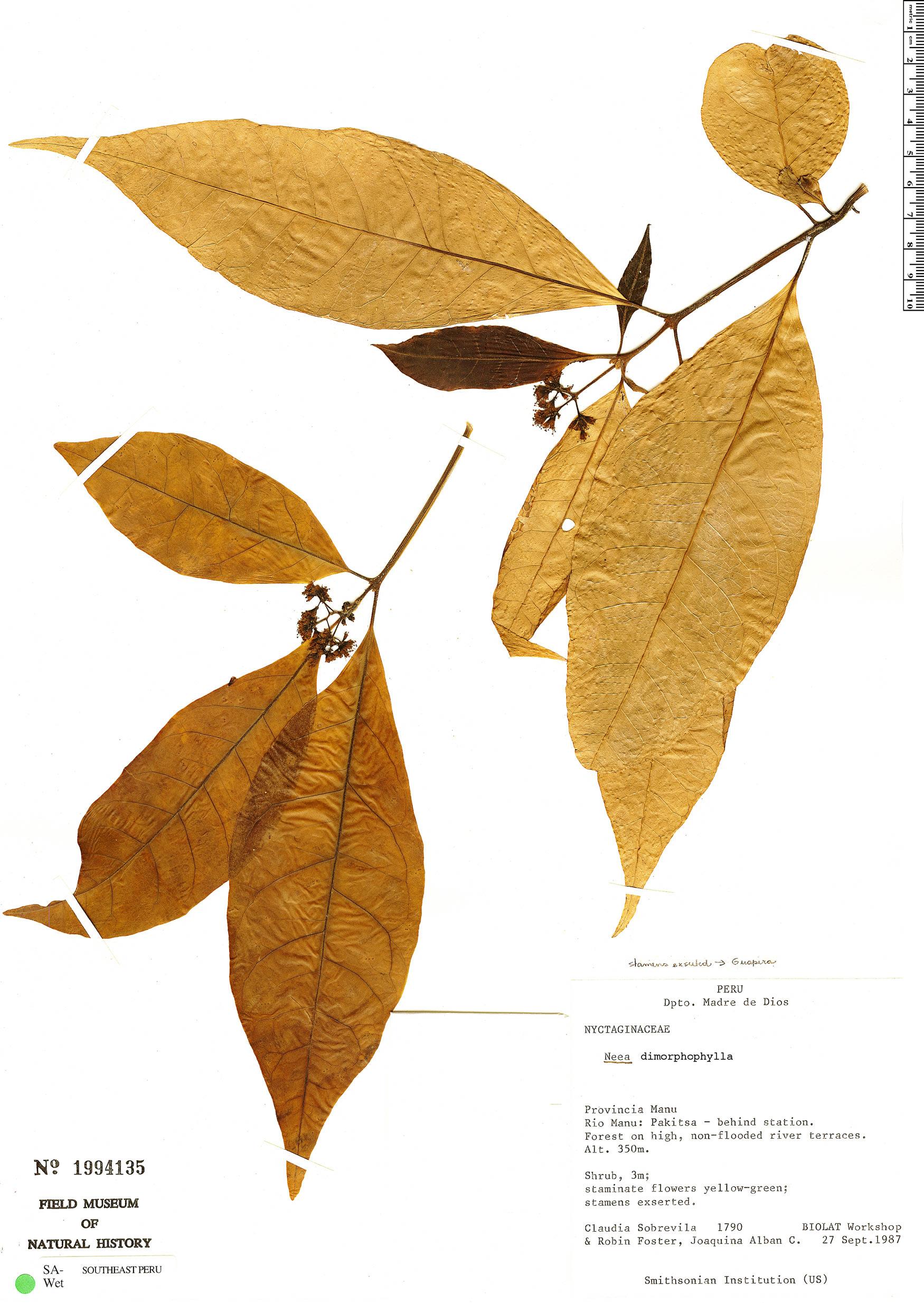 Specimen: Neea dimorphophylla
