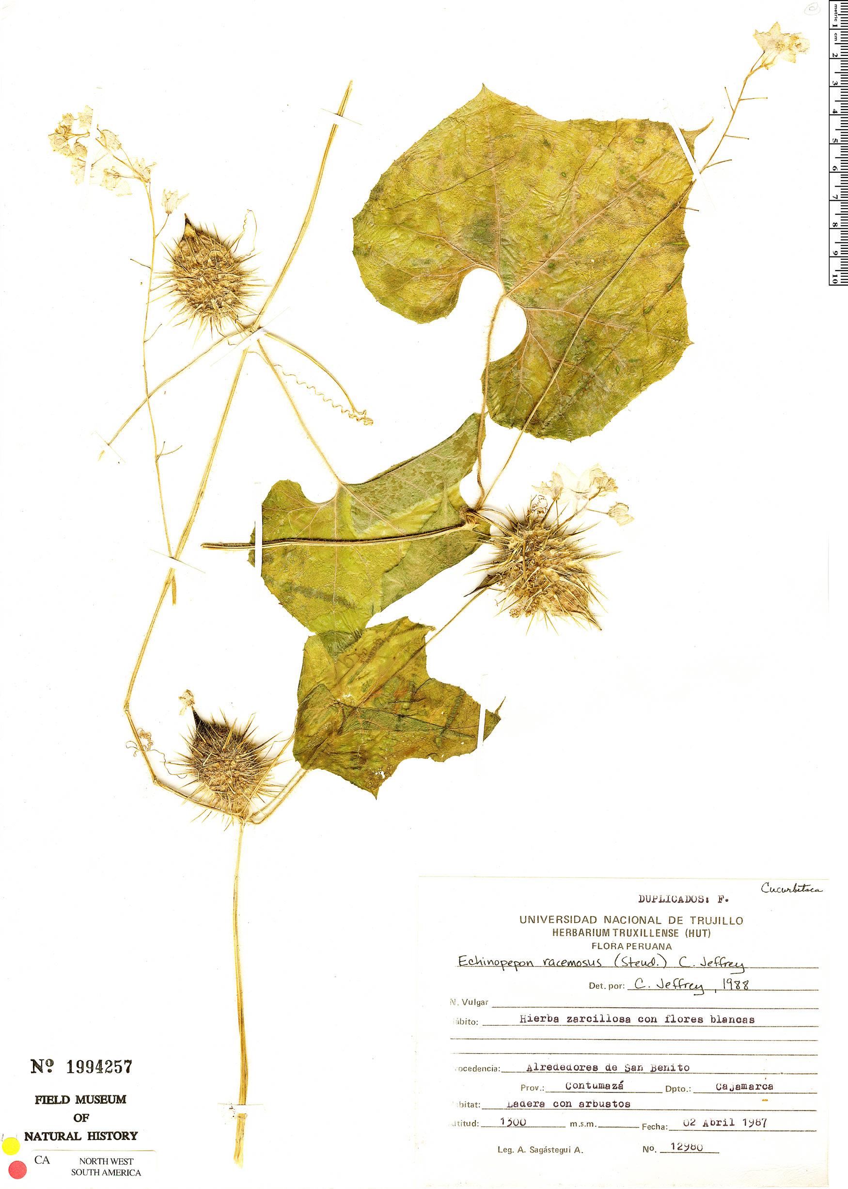 Specimen: Echinopepon racemosus