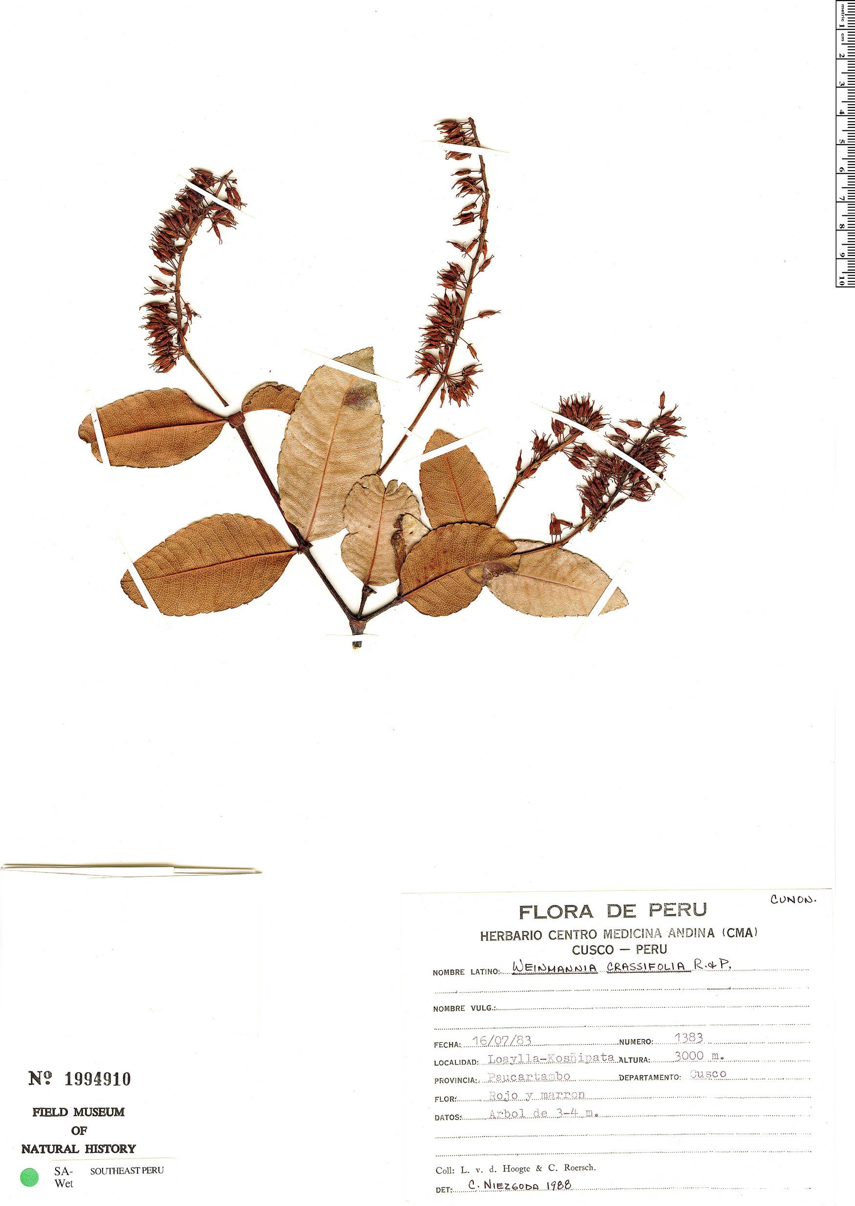 Specimen: Weinmannia crassifolia